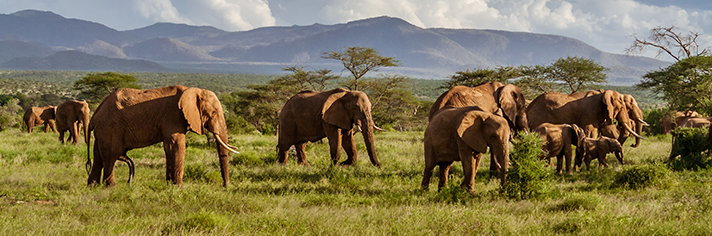 Elephant Herd African Savannah   GettyImages-879283930